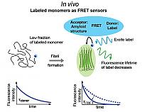 Strategy for an in vivo sensor of amyloid formation: In vivo sensing of amyloid nucleation and growth can be achieved by detecting fluorescence lifetime changes in extrinsic fluorophores acting as donors in a FRET like process, donating excitation energy to intrinsic energy states of amyloid structures. (Chan et al., 2013, in press).