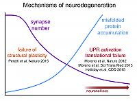 mechanisms of neurodegeneration and synaptic regeneration