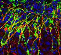 Progenitors and oligodendrocytes (green) associating with and myelinating axons (red) in the rodent cerebellum