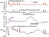 The effect of injecting HCl on the intracellular Ca of a snail neurone