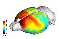 Map of cortical thickness of a rat brain derived from MRI images